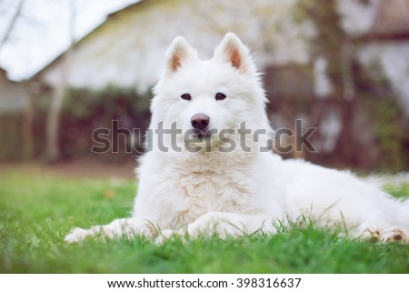 Samoyed dog outdoors in the nature on grass