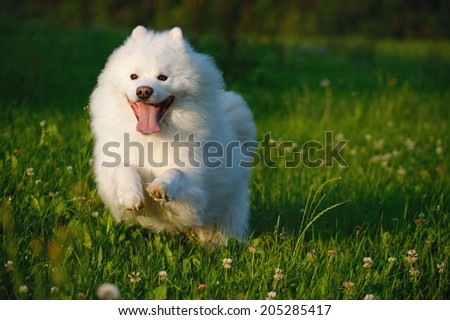Samoyed Dog runs happy in evening light over the meadow