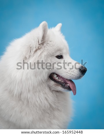 samoyed dog studio portrait
