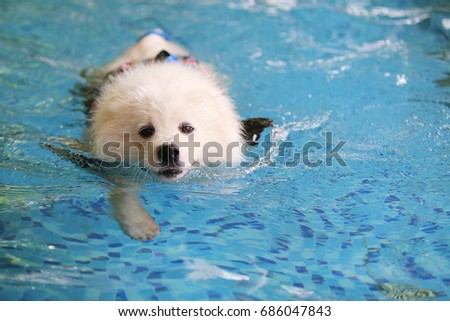 Samoyed, Fluffy dog in swimming pool have copy space at right area