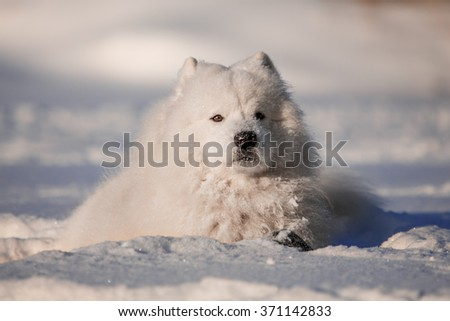 Samoyed lying in the snow