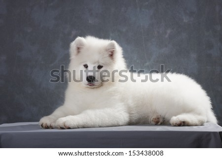 Samoyed puppy