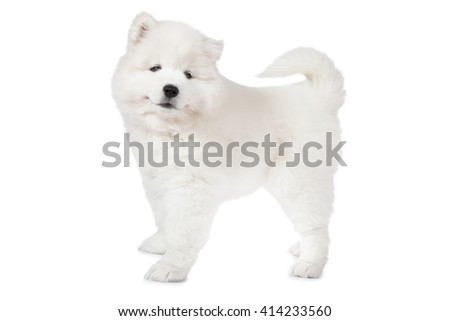 Samoyed puppy dog isolated on white background