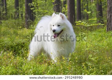 samoyed puppy Samoyed puppy in the summer forest - stock photo