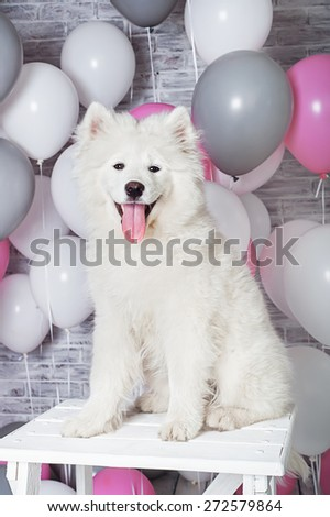Samoyed puppy with balloons - stock photo
