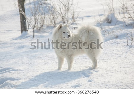 Samoyed white fur dog pet play on snow, winter outdoor