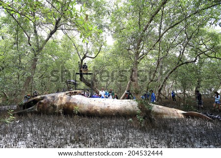 Samutprakan Thailand - July 1:researcher examiner investigate the whale carcass at the mangrove forest on July 1, 2014 in Samutprakan Thailand.