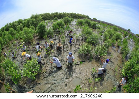 Samutsakorn Thailand, 16 September: Volunteers join together and plant young tree in deep mud in mangrove reforestation project on September 16, 2014 in Samutsakorn Thailand.