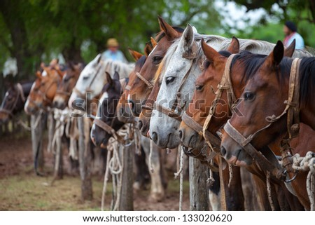 SAN ANTONIO DE ARECO, PROVINCE BUENOS AIRES, ARGENTINA - NOV 12: Horses en Fiesta de la Tradicion in San Antonio de Areco, November 12-13, 2011, province Buenos Aires, Argentina - stock photo