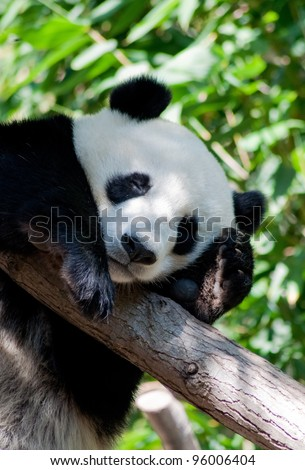 San Diego Zoo, the sleeping panda - stock photo