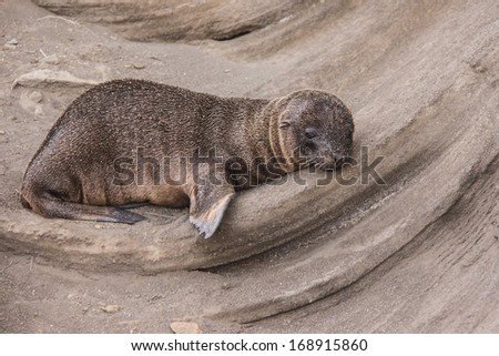 Sand covered baby Sea lion sleeping in a curved volcanic deposit on James Island,  Galapagos, Ecuador. - stock photo