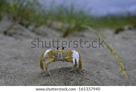 Sand Crab on St. Augustine Beach, Florida, USA - stock photo