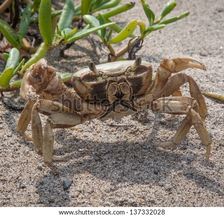 Sand crab ready to charge at Tayrona National park, Colombia - stock photo
