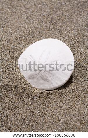 Sand dollar in sand - stock photo