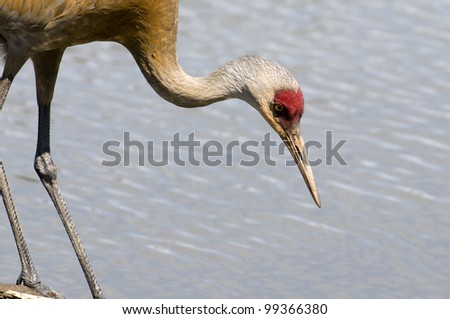 Sand Hill Crane Hunting - stock photo