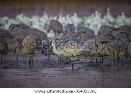 Sand hill cranes step carefully through icy ponds in New Mexico - stock photo