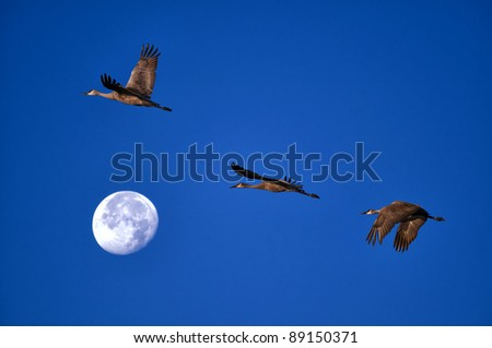 Sand hill cranes taking flight over a full moon