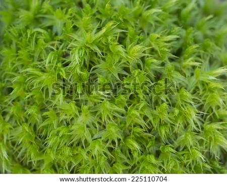Sand-hill Screw-moss (Syntrichia ruralis ssp. Ruraliformis). Green moss. - stock photo