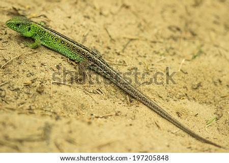 Sand lizard in the sand - stock photo