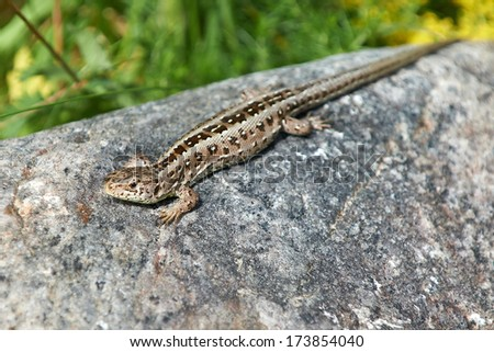 Sand Lizard (Lacerta agilis) - stock photo