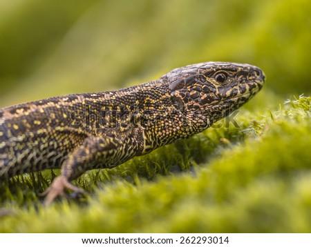 Sand Lizard (Lacerta agilis) in Natural Habitat on Green Moss - stock photo