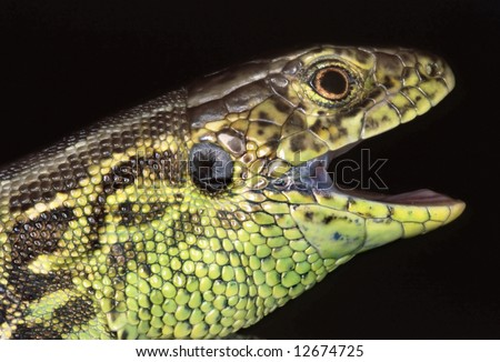 Sand Lizard (Lacerta agilis) with wide open muzzle on black background