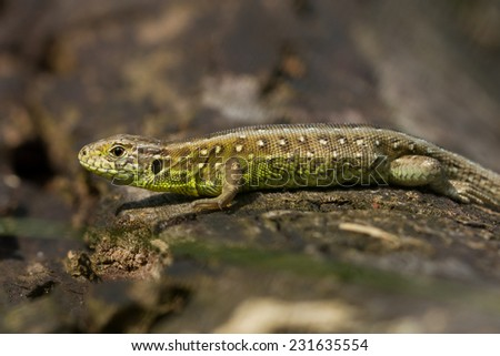 Sand lizard on piece of wooden tree during Spring. High resolution image. - stock photo