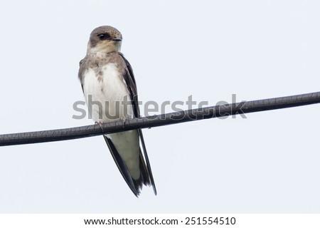 Sand Martin (Riparia riparia).Wild bird in a natural habitat. - stock photo