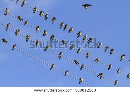 Sand martins resting on a wire, sunrise, silhouettes of flying birds