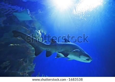 Sand Tiger Shark - stock photo