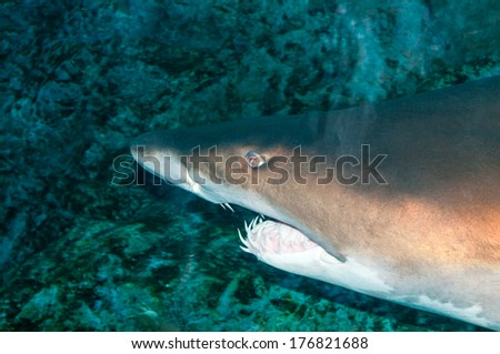 Sand tiger shark (Carcharias taurus) underwater - stock photo