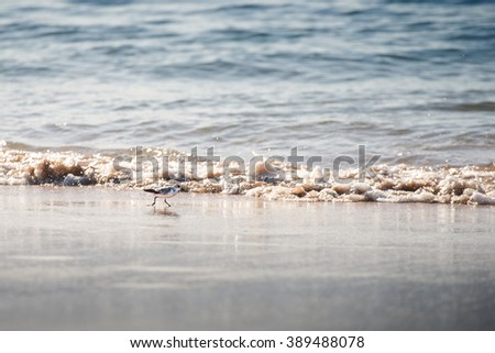 Sanderling bird, a type of sandpiper, wet beach sand - stock photo