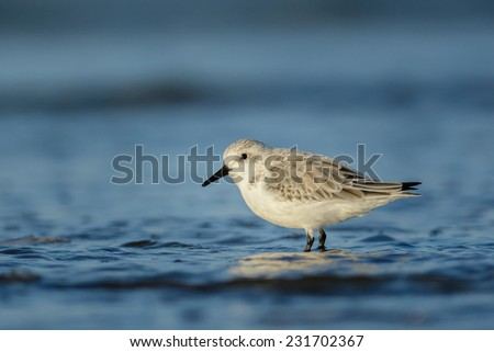 Sanderling (Calidris alba) at the shore of the north sea.