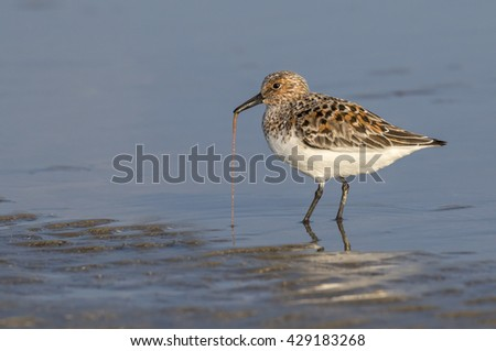 Sanderling (Calidris alba) in summer plumage feeding at the ocean beach, Galveston, Texas, USA. - stock photo