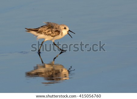 Sanderling (Calidris alba) running along the ocean coast at the evening, Galveston, Texas, USA - stock photo