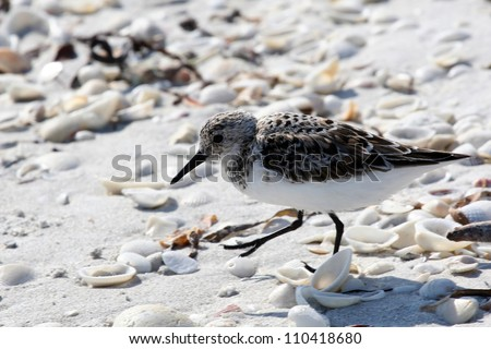 Sanderling Sandpiper (Calidris alba) running in White Sand on Sanibel Island in Florida - stock photo