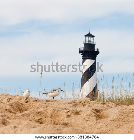 Sanderlings, Calidris alba, shore birds with Cape Hatteras Lighthouse behind dunes of Outer Banks island near Buxton, North Carolina, US