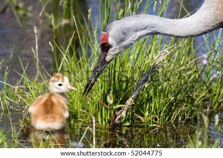 Sandhill Crane and Chick (Grus canadensis) - stock photo