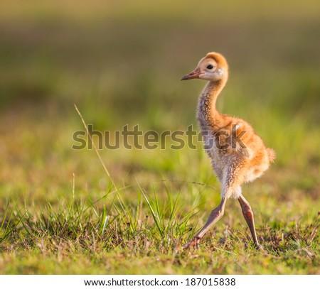 Sandhill crane chick camera right - stock photo