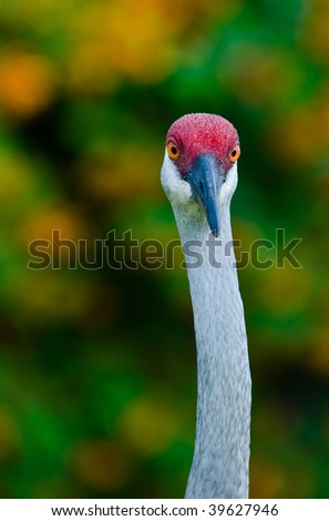 Sandhill Crane Close Up straight on