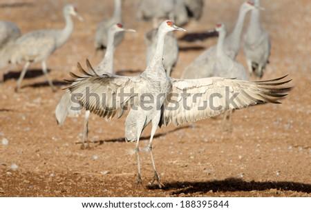 Sandhill Crane Dancing, Arizona - stock photo