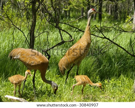 Sandhill Crane Family out for a stroll. - stock photo