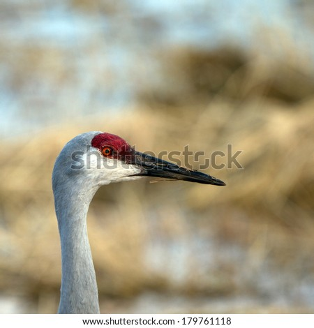 Sandhill Crane feeds at Bosque del Apache National Wildlife Refuge in New Mexico - stock photo