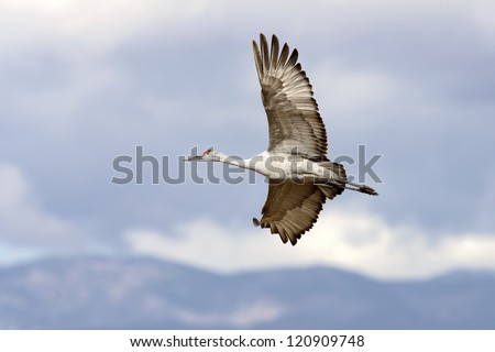 Sandhill crane flying at Bosque del Apache national wildlife refuge in New Mexico. - stock photo