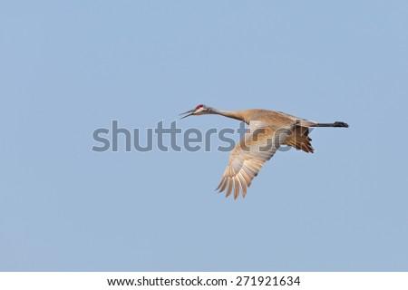 Sandhill Crane (Grus canadensis) in Flight in Spring - Ontario, Canada - stock photo