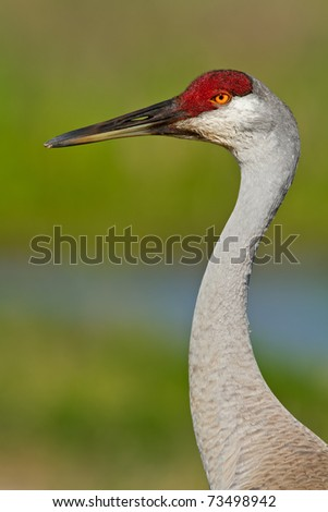 Sandhill crane head and neck against a soft green background. - stock photo