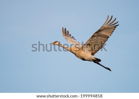 Sandhill Crane in Flight Against Blue Sky - stock photo