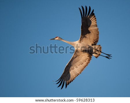 Sandhill crane in flight in Bosque Del Apache National Wildlife Refuge - stock photo