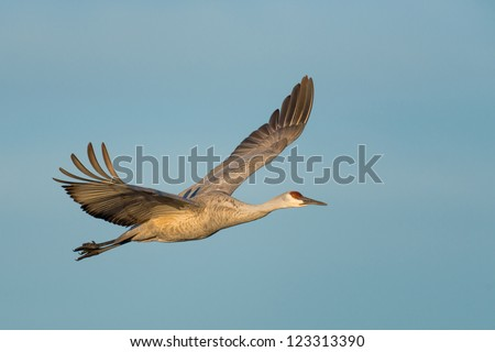 Sandhill crane in flight in the early morning at Bosque del Apache National Wildlife Refuge near San Antonio, New Mexico - stock photo