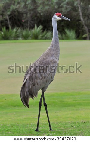 Sandhill Crane on the fairway